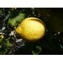 Citrons 500 gr