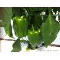 Poivron Vert  500 gr